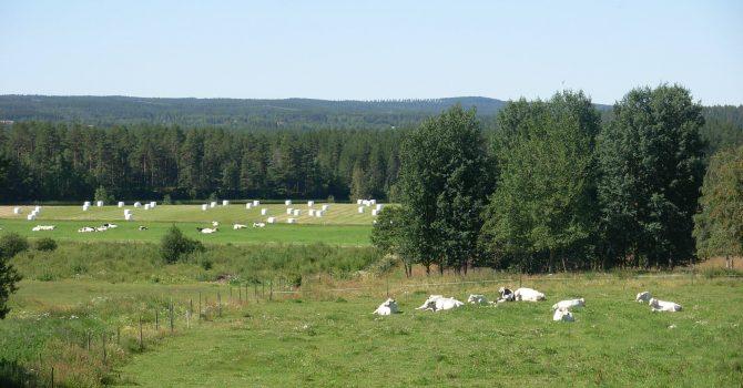 Högsommar med vilande kor och balar